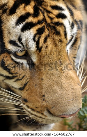 The Bengal tiger is found primarily in India with smaller populations in Bangladesh, Nepal, Bhutan, China and Myanmar. - stock photo