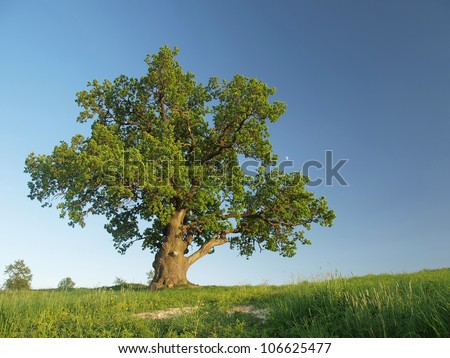 The big lonely oak  tree on a green meadow against the  blue sky with the small moon. - stock photo