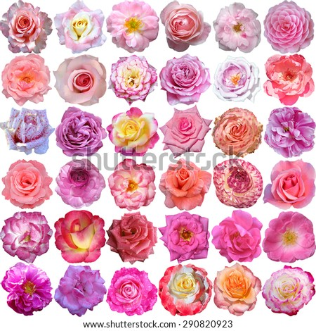 The Big Set of light roses blooms  - stock photo