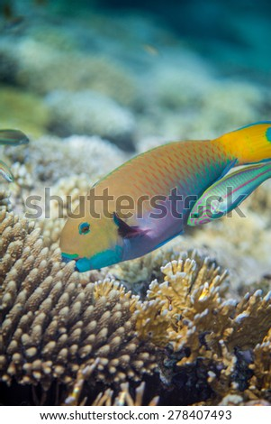 The big yellow scarus fish eating corals in the Red sea. Thalasoma klunzingeri swimming near scarus trying to catch something. - stock photo
