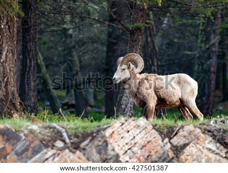 The bighorn sheep Ovis canadensis in the forest - stock photo