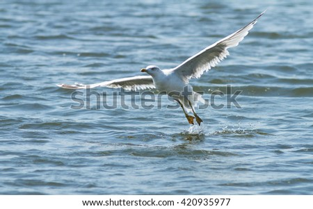 The bird (gull) starting from the water. The gull flying over the water. - stock photo
