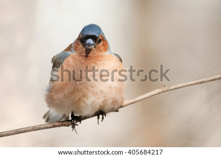 the bird is  Chaffinch singing in the forest in spring in April - stock photo