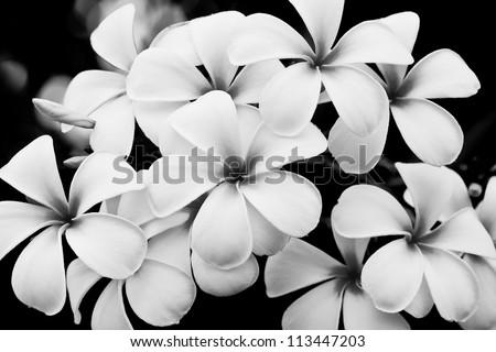 The black and white image of the Plumeria flowers - stock photo