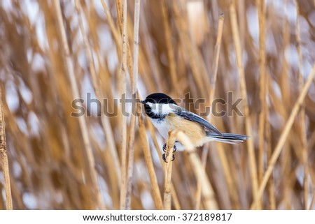 The black-capped chickadee  is a small, non migratory, North American songbird that lives in deciduous and mixed forests. It is a very underrated friendly bird that will gladly take food from hands.  - stock photo