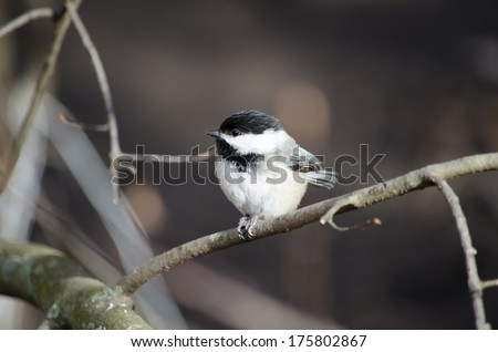 The Black capped Chickadee is a small, North American songbird. It is the state bird of both Maine and Massachusetts in the United States, and the provincial bird of New Brunswick in Canada. - stock photo