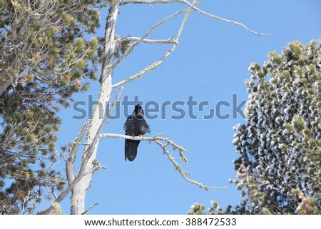 The black crow sitting on a dry branch of a cedar in the spring - stock photo