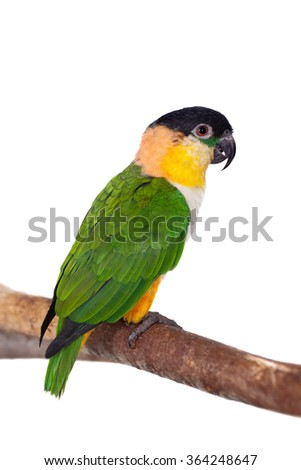 The black-headed caique, Pionites melanocephalus, on white background - stock photo