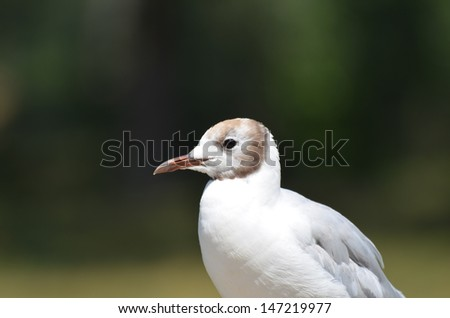 The Black-headed Gull or Chroicocephalus ridibundus is a small gull which breeds in much of Europe and Asia. - stock photo
