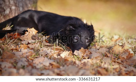 The black not purebred puppy lies in autumn leaves. - stock photo