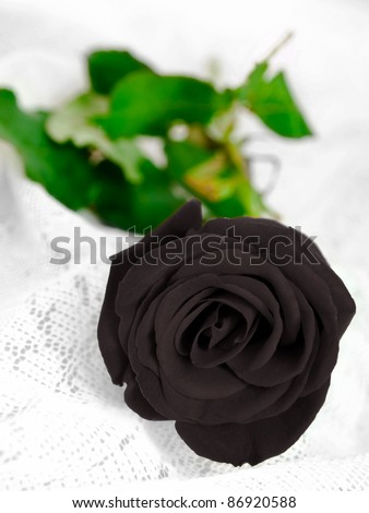 The Black Rose - stock photo