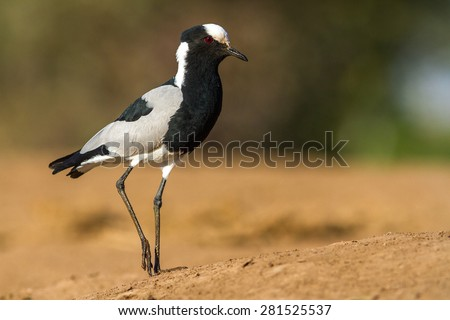 The black smith plover, renamed the black smith lapwing, is a common bird in Southern Africa - stock photo