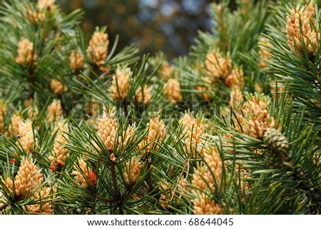 The blooming pine tree closeup, pollen, yellow, - stock photo