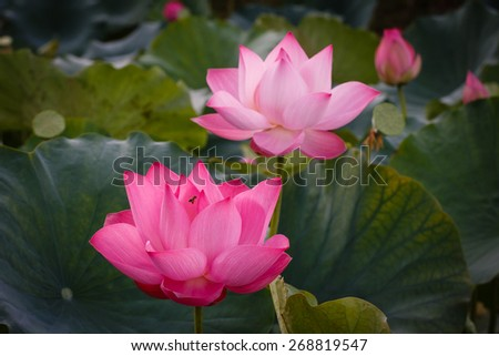 The blossom time-lapse of Lotus Flower shows the sequence of flower re-birth. The bee was approaching the center of flower finding its food based on smell of the flower - stock photo