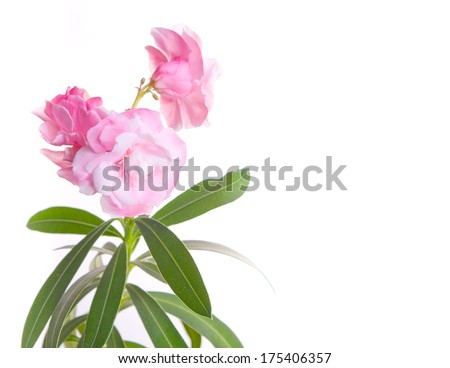 The blossoming oleander - stock photo