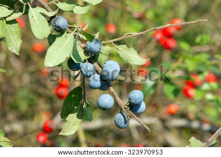 The blue and red sloes, rosehips fruit of the autumn forest. - stock photo