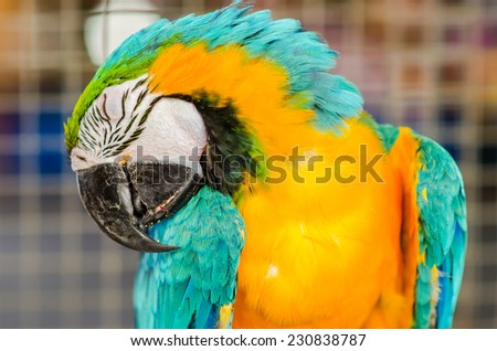 The Blue-and-yellow Macaw - stock photo