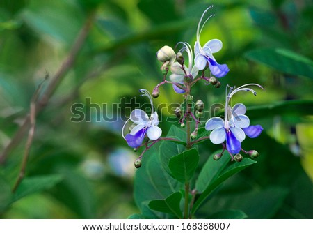 "The ""blue butterfly"" flower (Clerodendrum ugandense) is a warmth loving perennial, commonly found in East Africa and Asia. I found this one in north Florida. - stock photo"