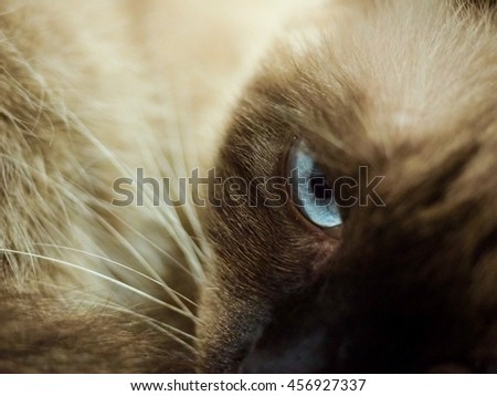 The blue cat eye looking something in the room. It thai cat. - stock photo