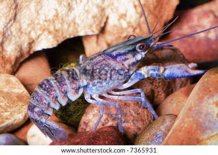 the blue crawfish in aquarium near pink stones - stock photo