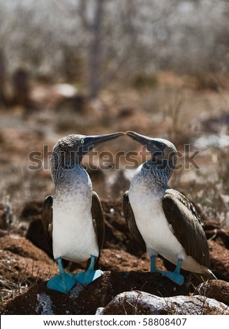 The Blue-footed Boobyis a bird in the Sulidae family which comprises ten species of long-winged seabirds. - stock photo