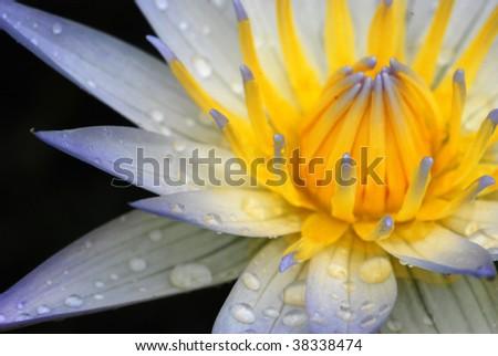 the blue lotus be beautiful - stock photo