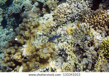 The blue maxima clam. Tridacna maxima. Underwater life of Red sea in Egypt. Saltwater fishes and coral colony reef - stock photo