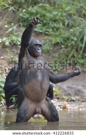The Bonobo ( Pan paniscus) standing on her legs in water with a cub on a back standing  and hand up.  Democratic Republic of Congo. Africa  - stock photo