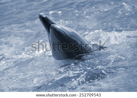 The bottle-nosed dolphin in aquarium. Closeup - stock photo