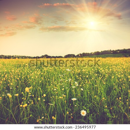 The boundless field and blooming colorful yellow flowers in the sun rays. Filtered image:cross processed vintage effect.   - stock photo