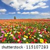 The boundless field, blooming colorful garden buttercups. The magnificent garden buttercups - stock photo