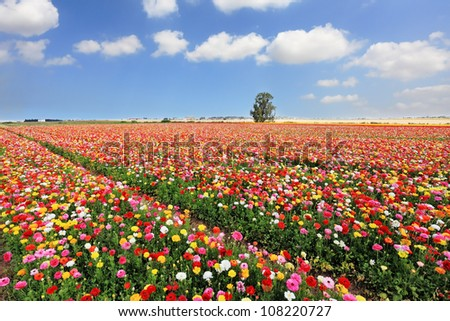 The boundless field, blooming colorful garden buttercups. The magnificent garden buttercups. - stock photo