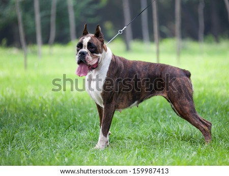 The boxer, a famous Hound - stock photo
