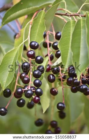 The branch of bird-cherry tree  - stock photo