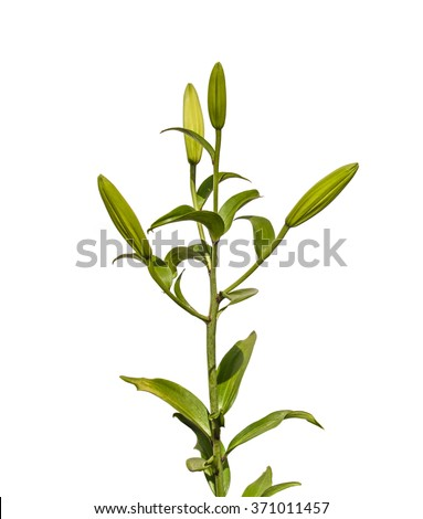 The branch of  lilies Oriental Hybrids (Lilium LA-Hybrids) with buds  on a white background isolated - stock photo