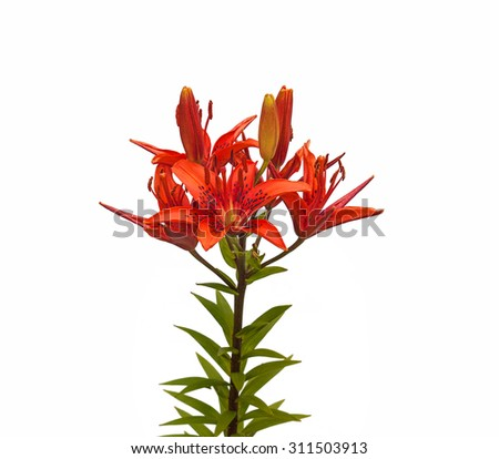 The branch of red lilies Asian hybrids with buds and a blossoming flower on a white background isolated - stock photo