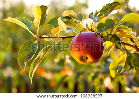 The branch of tree with fresh red apple - stock photo