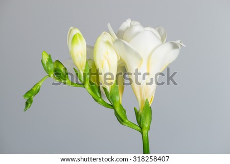 The branch of white freesia with flowers and buds on a gray background - stock photo