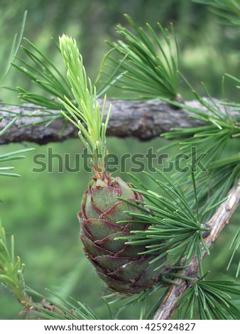 The branches of a larch in the spring. Image close-up. - stock photo