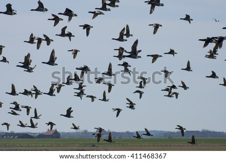 The brant or brant goose (Branta bernicla) in the sky above the land of the island Texel, Netherlands - stock photo