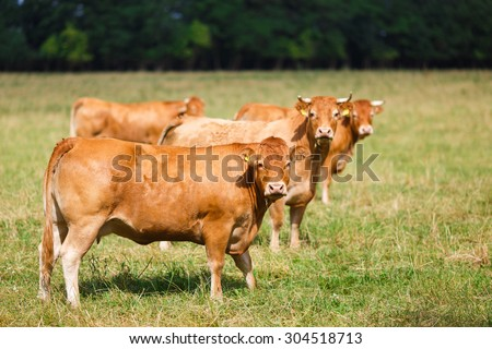 The breed Limousin cattle on the field at summer time - stock photo