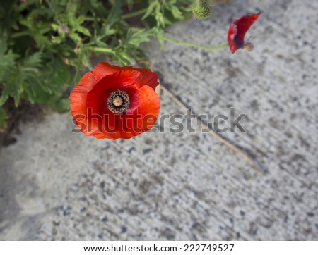 The brilliant red of the Flander's Poppy  papaver rhoeas is contrasted against the black cross in the center and is a symbol of the First World War battle in Flander's fields. - stock photo