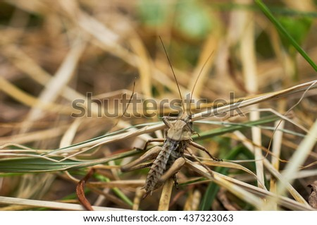 The brown grasshopper sits on a grass. The little grasshopper. insect eats a grass. Grasshopper in a garden. - stock photo