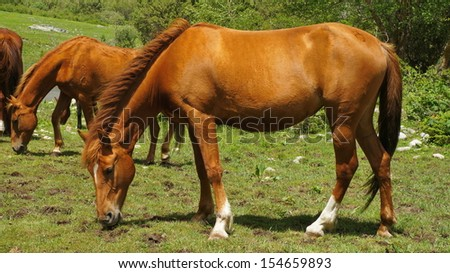 The brown horse is grazed on a meadow in Kyrgyzstan. - stock photo