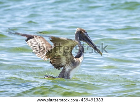 The brown pelican is a small pelican found in the Americas - stock photo
