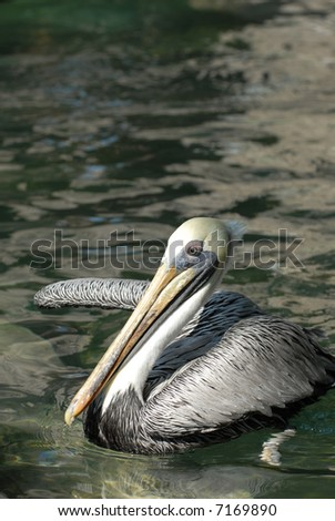 The brown pelican is a threatened species over much of it's natural range. - stock photo