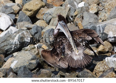 The Brown Pelican, Pelecanus occidentalis, preens by spreading oil from its uropygial gland near the base of its tail across its feathers with its beak. The oil helps the feathers be water resistant. - stock photo