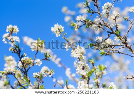 The brunch of blossoming spring tree , White peach  flower in blue sky - stock photo