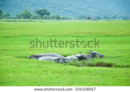 The Buffaloes in The Mud Puddle - stock photo