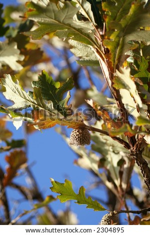 The Bur Oak (Quercus macrocarpa), native to North America in the eastern and midwestern United States and south-central Canada. - stock photo